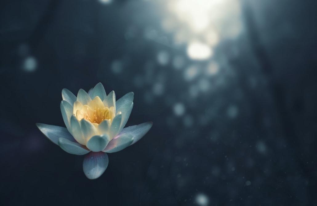 Lotus auf dunkelglänzenden Hintergrund Kopf und Bauch